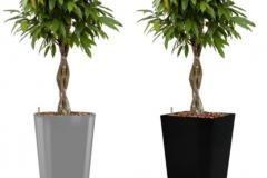 Ficus Amstel King aluminium round:black square