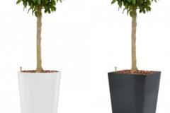 Ficus Benjamina Columnar white round:anthracite square