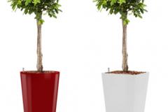 Ficus Nitida red round:white square