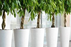 Ficus Alto Plaited stem