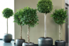 Ficus on straight stem